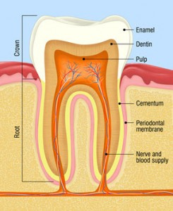 Root canal dental pulp
